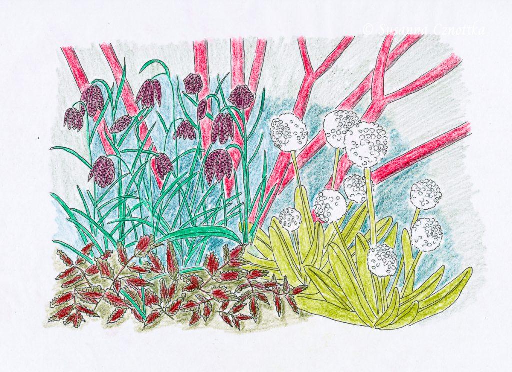 Kombination mit Schachbrettblume, Kugelprimel, Prachtspiere und Rotholz-Hartriegel