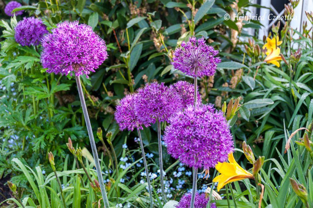 """Zierlauch (Allium """"Purple Sensation"""")"""
