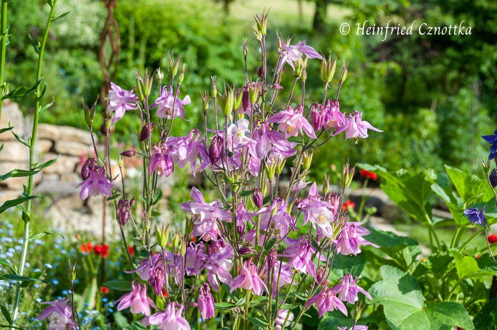 Akelei (Aquilegia vulgaris) in zartem Rosa