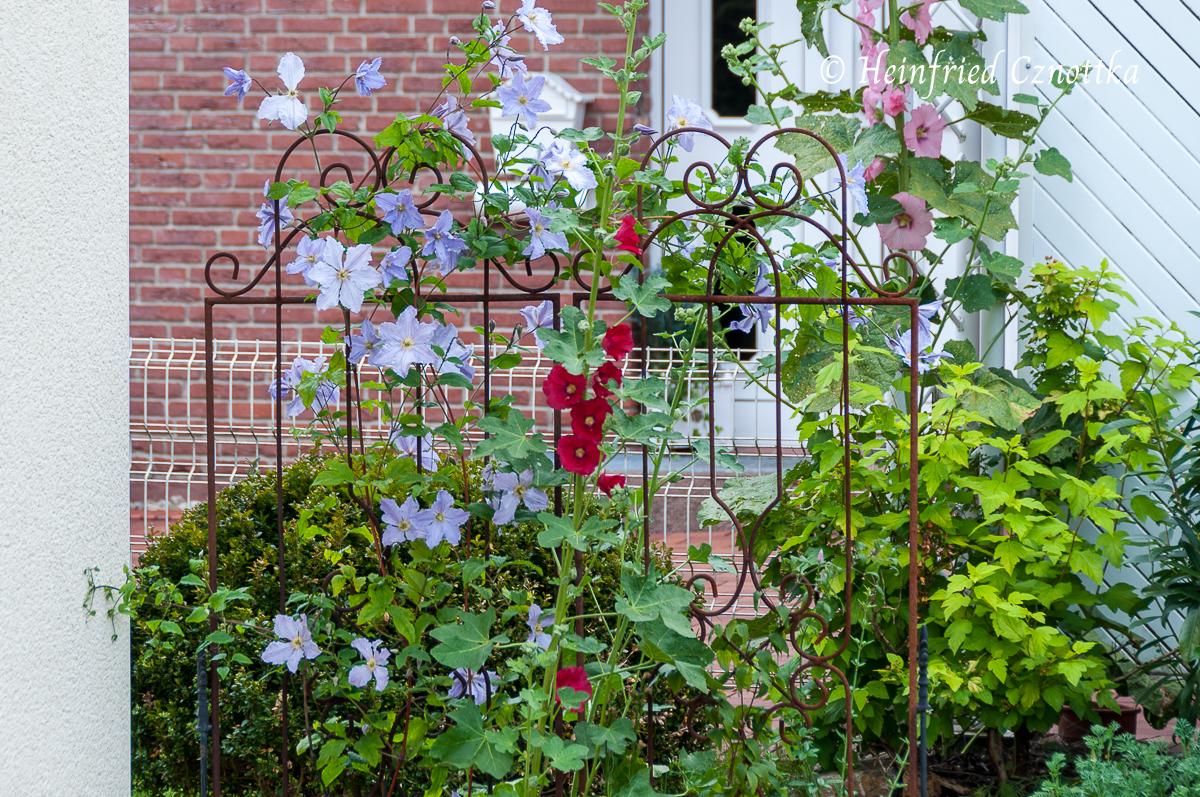 Wanderer im Garten: Stockrose