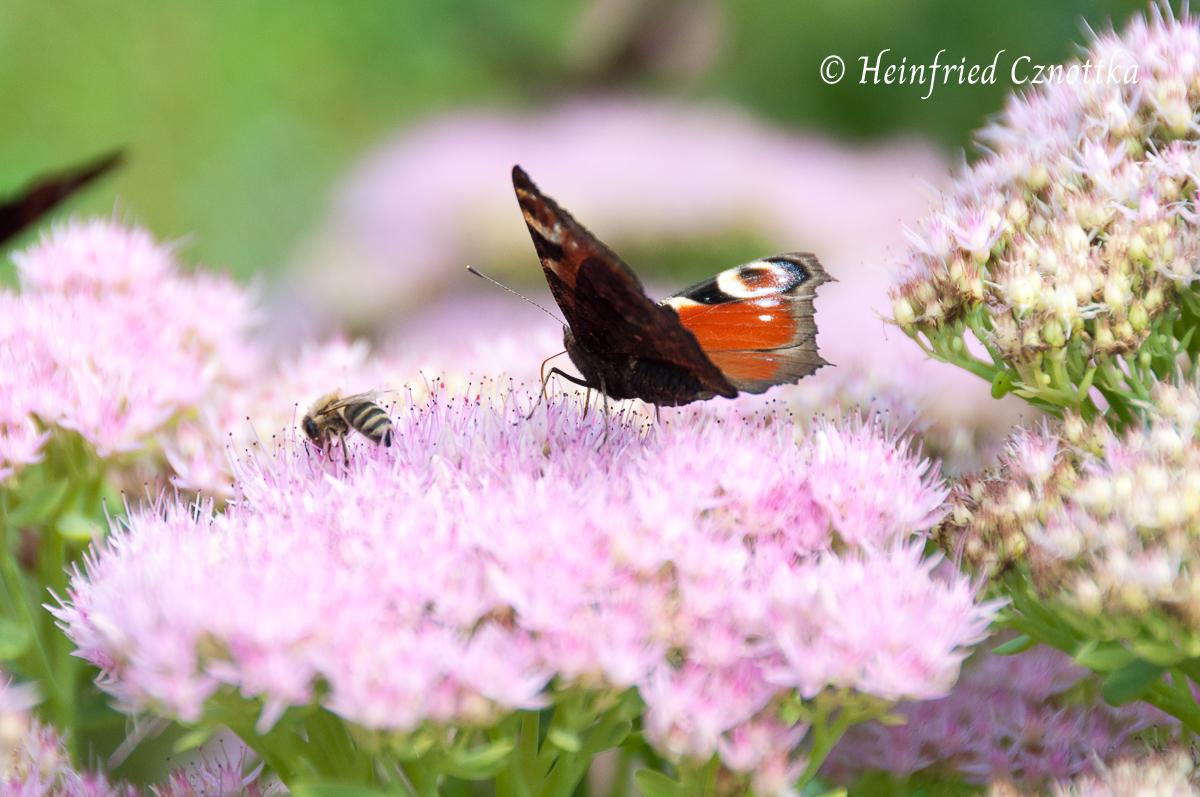 Biene und Schmetterling auf einer Fetthennenblüte