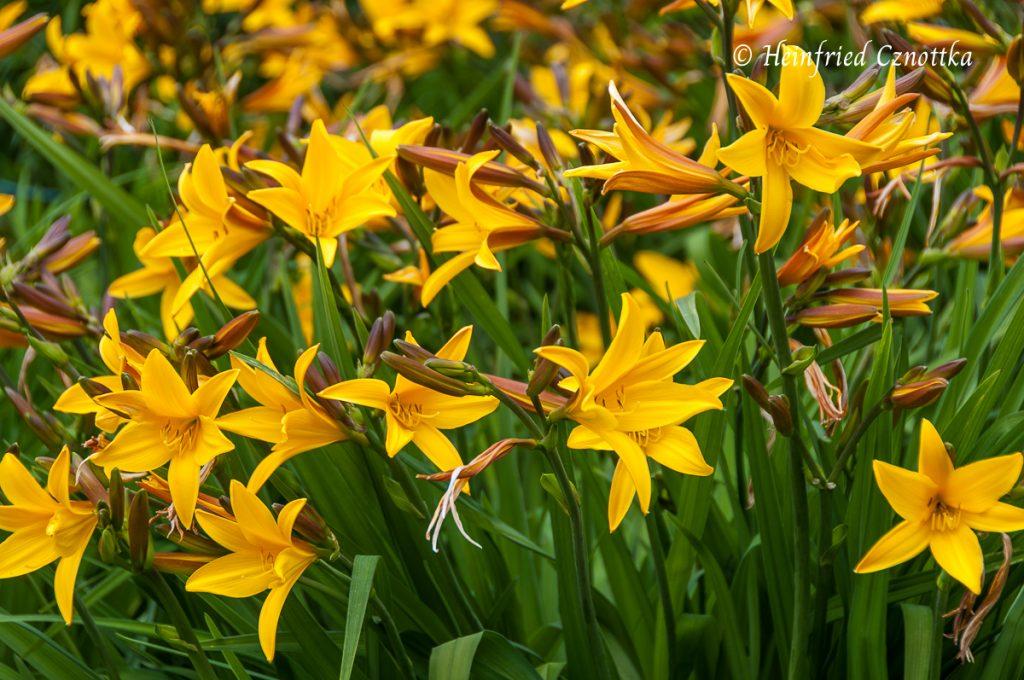 Frühe gelbe Taglilie (Hemerocallis)