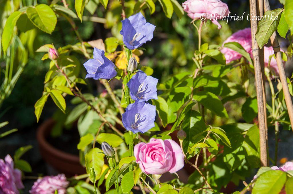 Wanderer im Garten: Pfirsichblättrige Glockenblume (Campanula persicifolia)