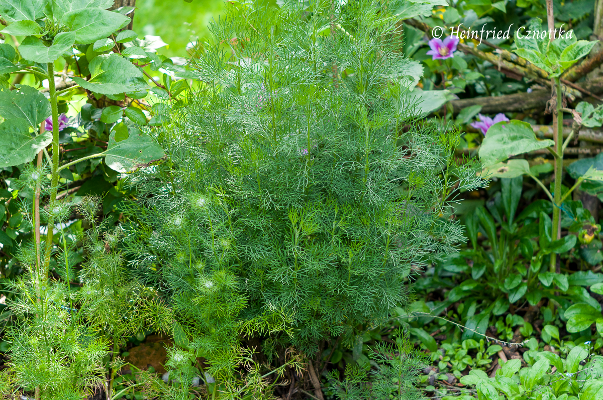 "Eberraute (Artemisia abrotanum) ""Coca Cola"" zwischen Sonnenblumen."
