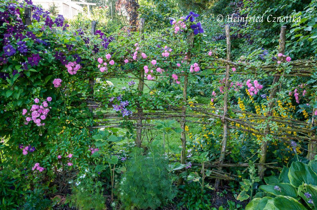 Ein romantisch mit einer Rose bewachsener Zaun