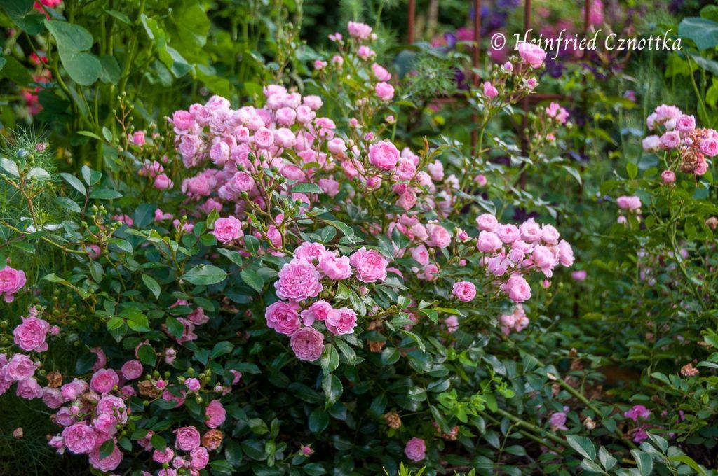 "Rose ""The Fairy"", Kleinstrauchrose"