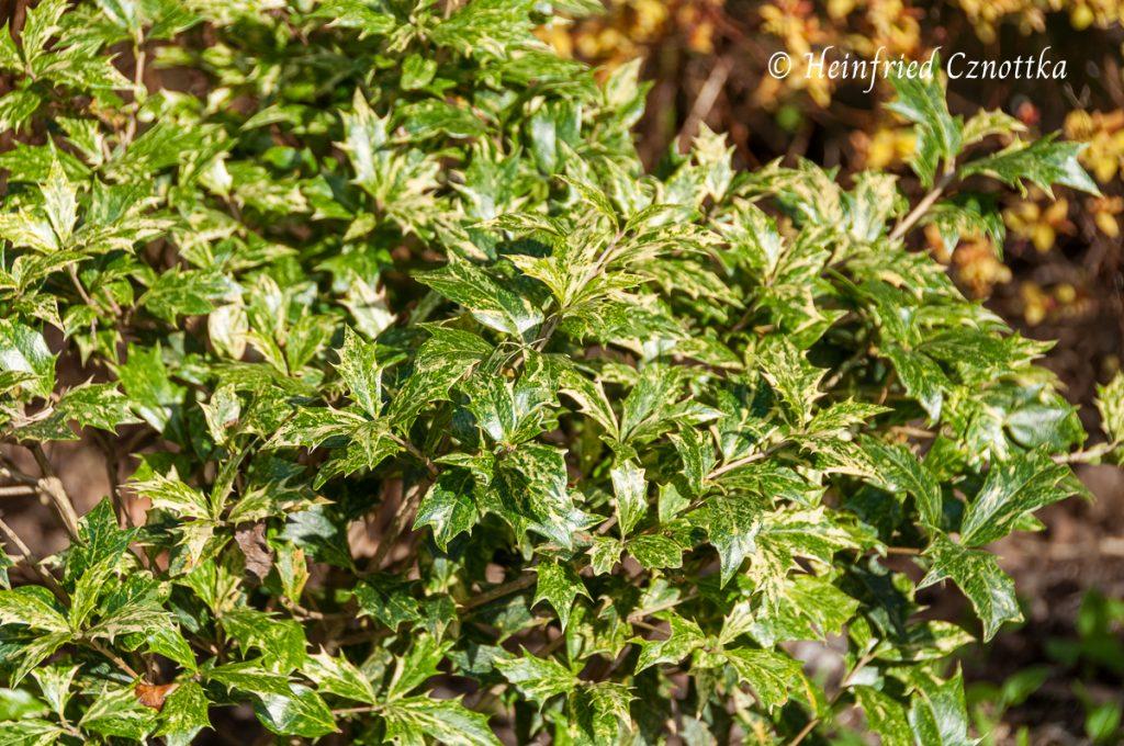 "Stachelblättrige Duftblüte ""Goshiki"", Osmanthus heterophyllus ""Goshiki"""