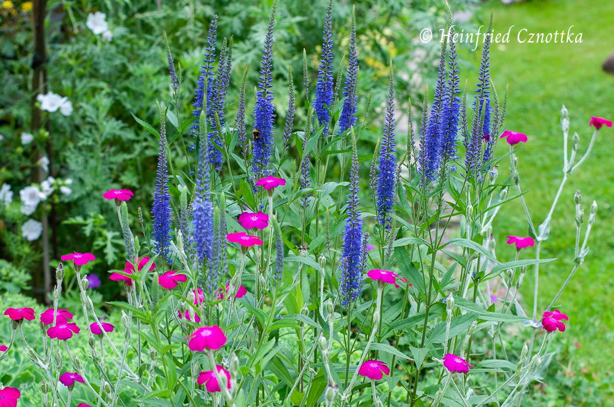 Wanderer im Garten: Ehrenpreis (Veronica longifolia) und Vexiernelke (Silene coronaria)