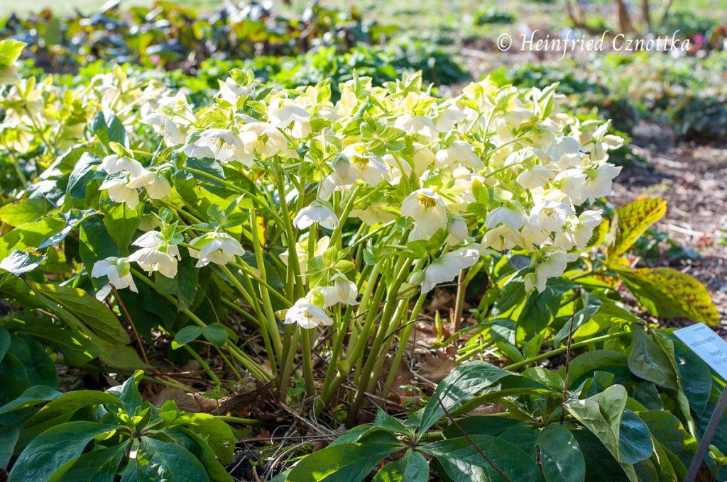 "Weiße Lenzrose (Helleborus orientalis) ""White Lady"""