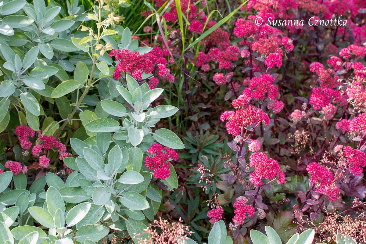 """Salbei (Salvia officinalis) mit der Fetthenne """"Red Cauli"""" (Hylotelephium telephium ssp. ruprechtii """"Red Cauli""""): das kühle Silber des Salbeis ist ein erfrischender Gegenpol zu den violetten Blättern und roten Blüten."""