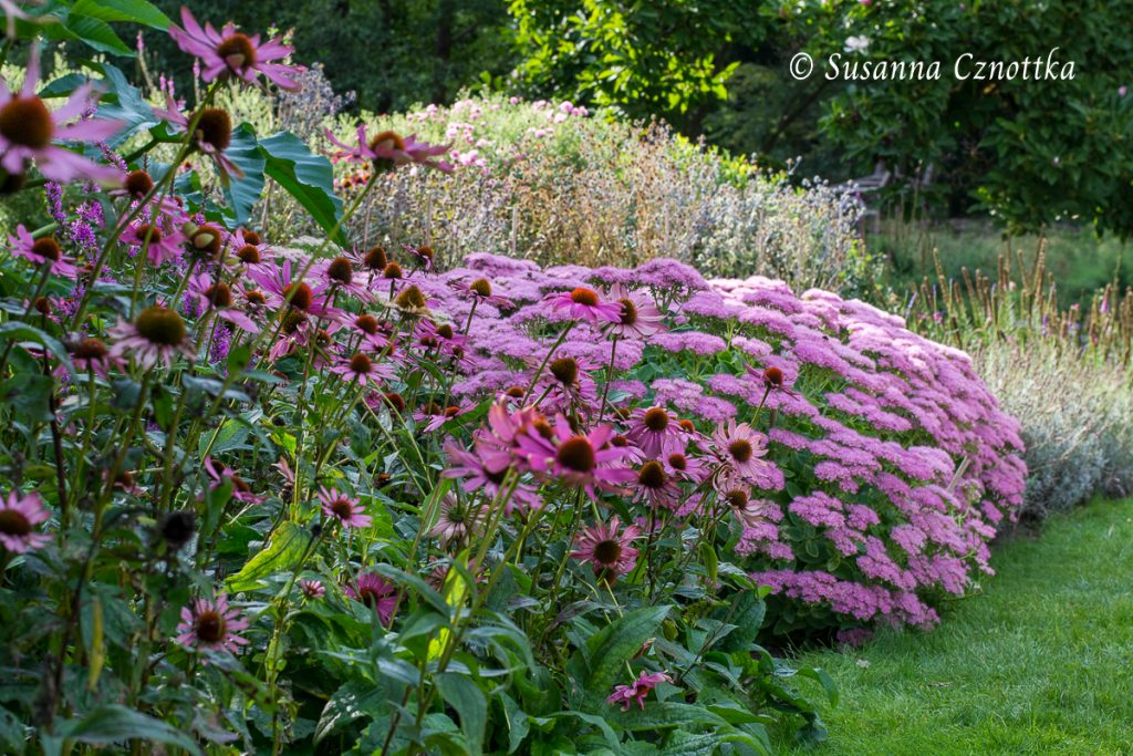 """Ton in Ton-Paar: die Prächtige Fetthenne """"Brilliant"""" (Hylotelephium spectabile """"Brilliant"""") mit Scheinsonnenhut (Echinacea purpurea)"""