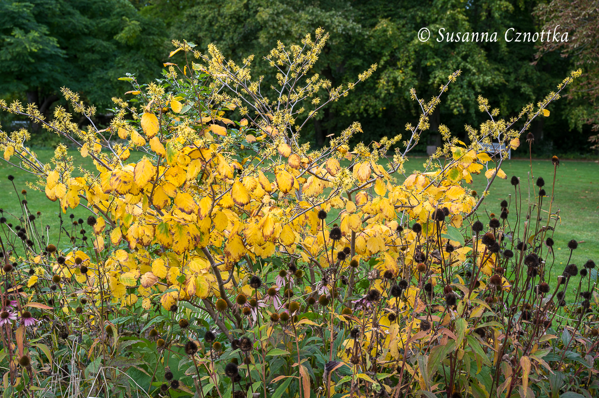 Virginische Zaubernuss (Hamamelis virginiana) mit goldgelbem Herbstlaub