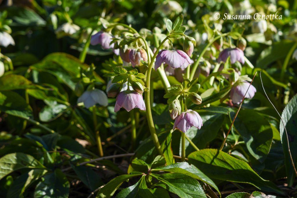 Eine zart rosane Lenzrose
