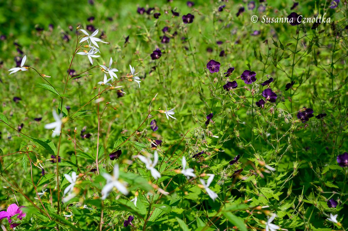 """Hell-dunkel-Kontrast: Dreiblattspiere (Gillenia trifoliata) mit braunem Storchschnabel (Geranium phaeum """"Raven"""")"""