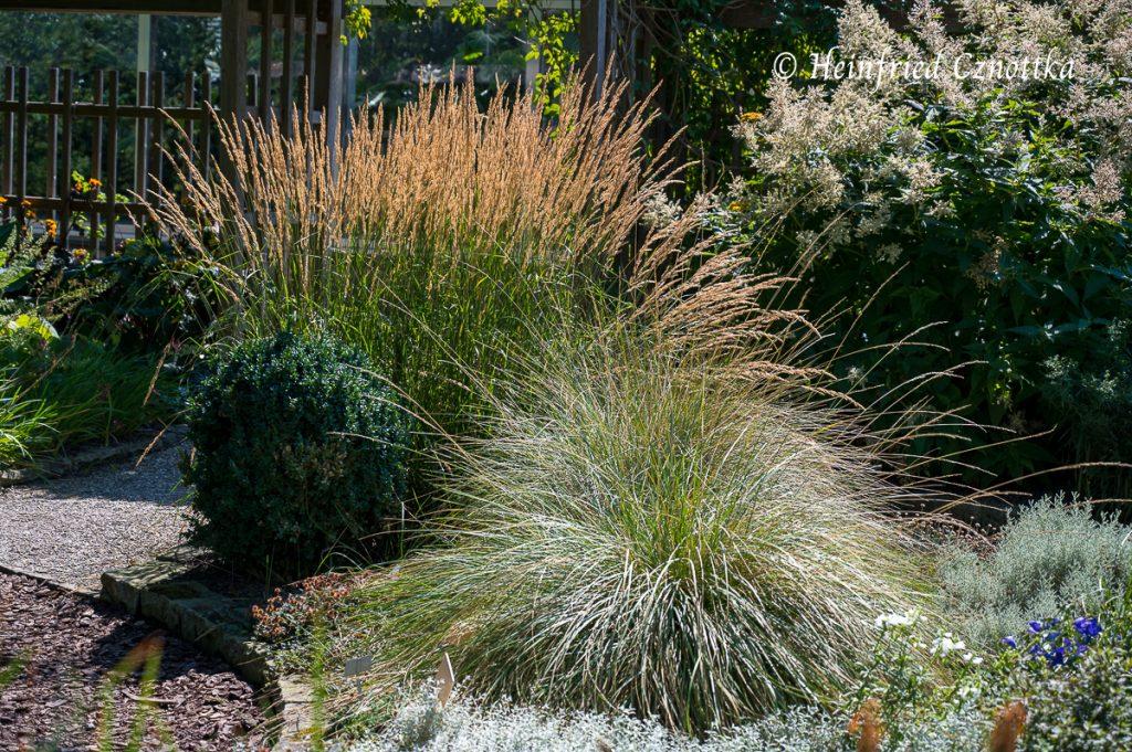 Blütenstände des Garten-Sandrohrs (Calamagrostis x acutiflora) im Sonnenlicht