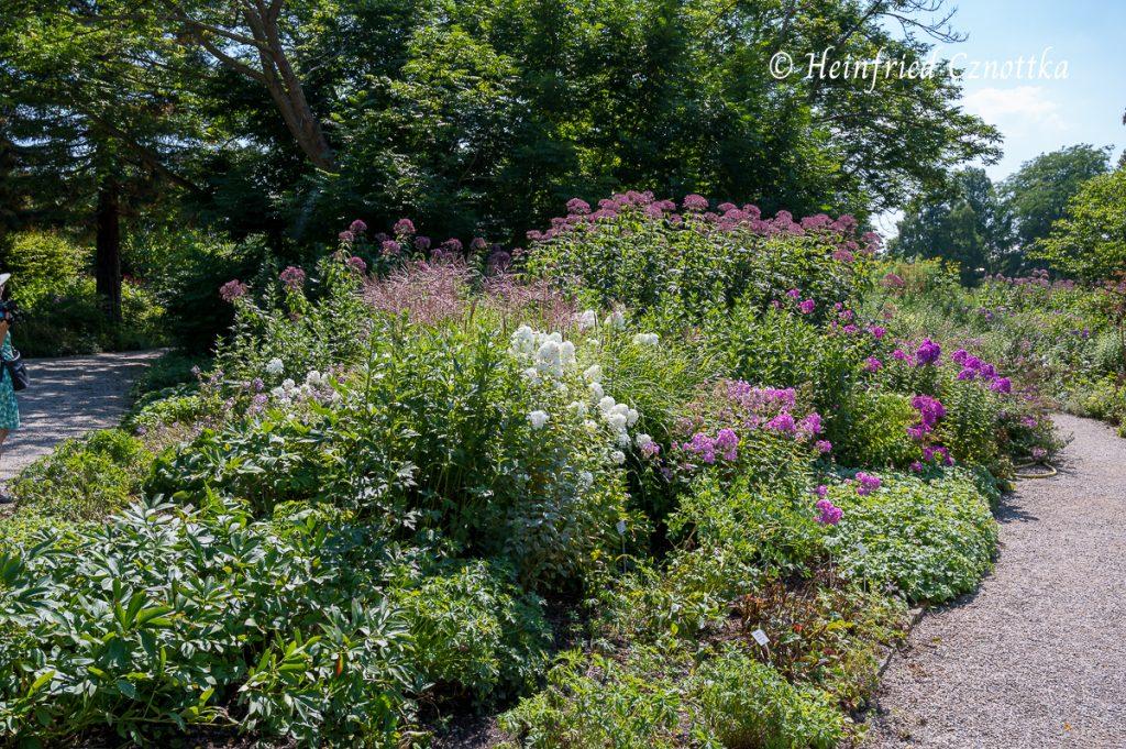 """Hohe Flammenblumen (Phlox paniculata), Chinaschilf (Miscanthus sinensis """"Ferner Osten"""") und Hoher Wasserdost (Eupatorium fistulosum)"""