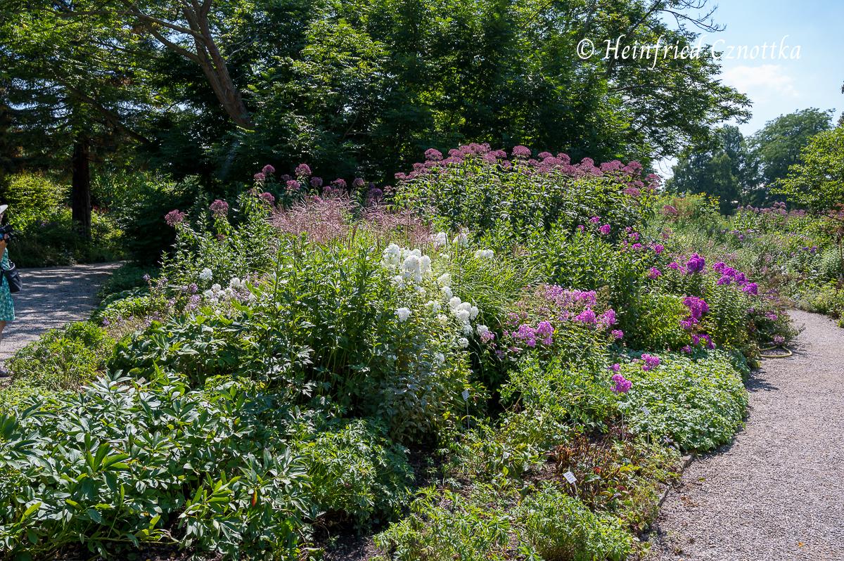 """Hohe Flammenblumen (Phlox paniculata), Chinaschilf (Miscanthus sinensis """"Ferner Osten"""") und Hoher Wasserdost (Eupatorium fistulosum) (Berggarten Hannover)"""