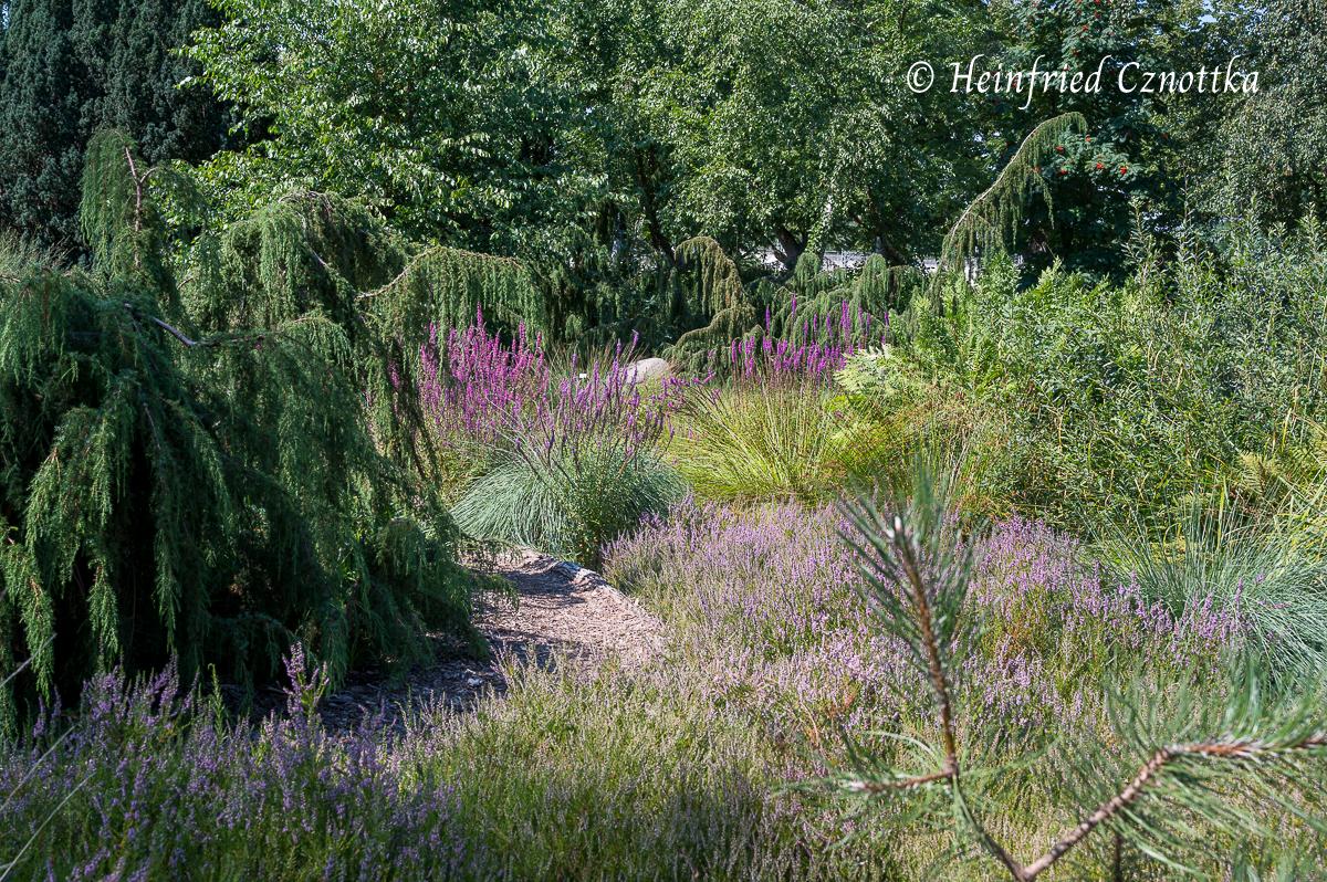 Mit dem Pink der Besenheide harmoniert der Blutweiderich (Berggarten Hannover)
