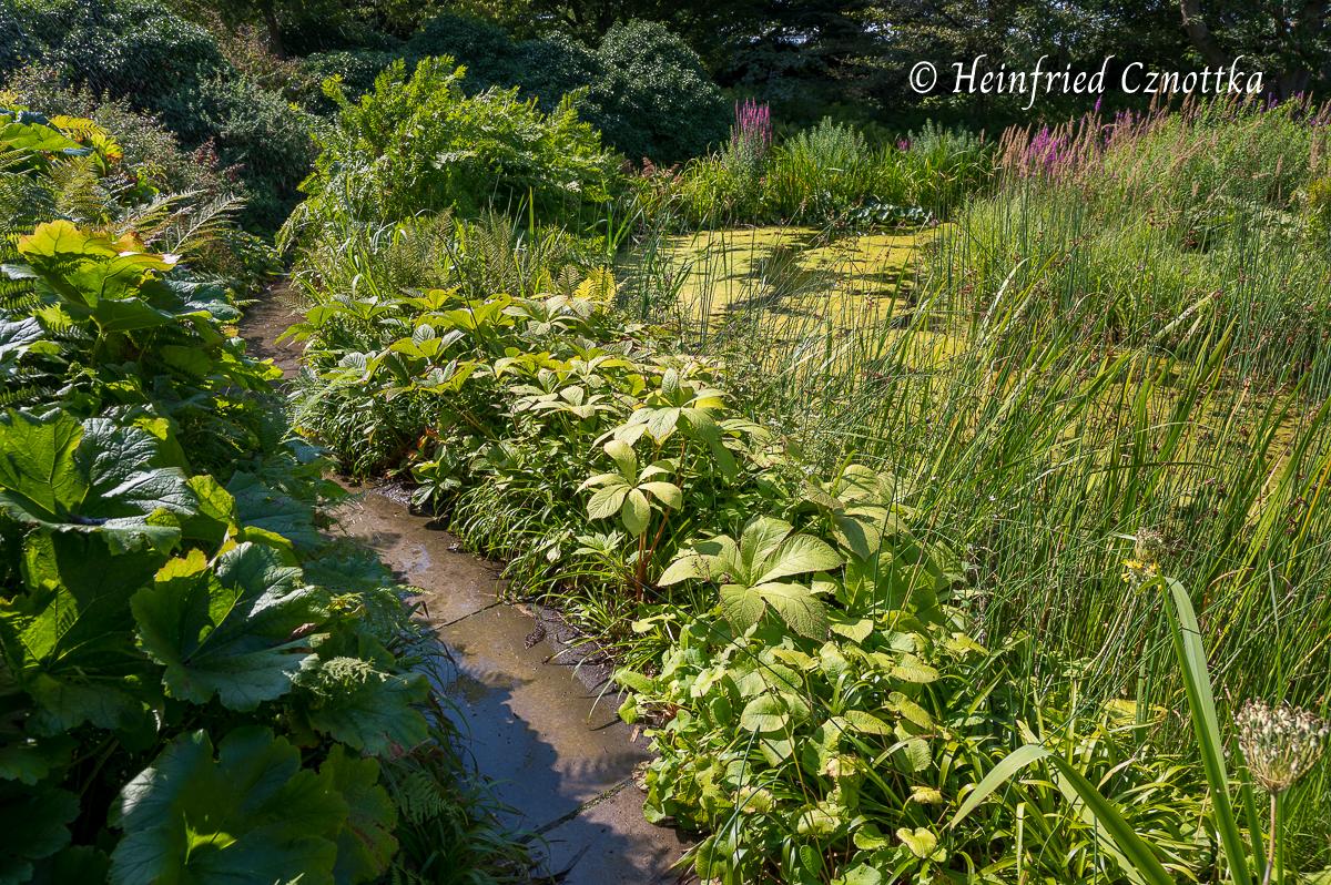 Schildblatt und Kastanienblättriges Schaublatt säumen einen Weg  (Berggarten Hannover)