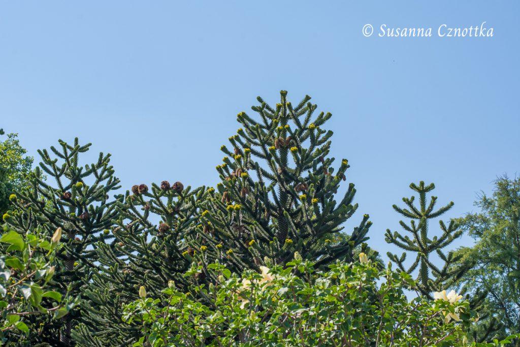 Andentannen (Araucaria araucana)