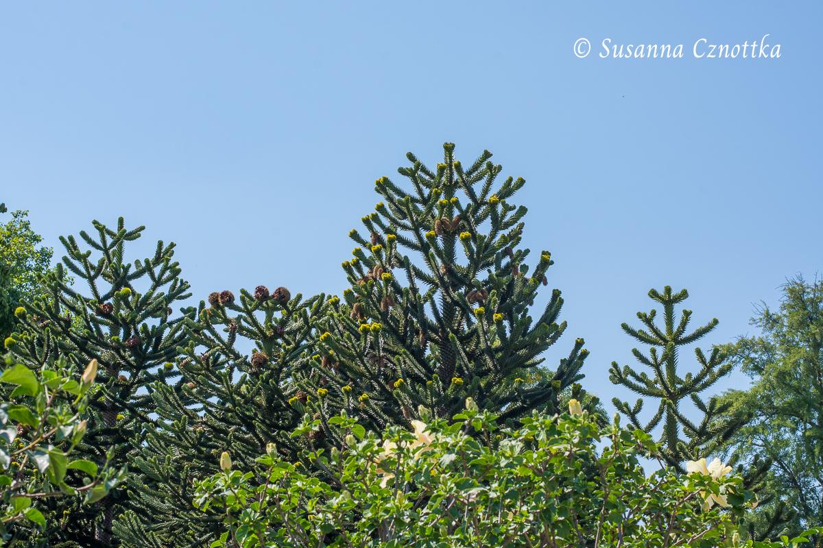 Andentannen (Araucaria araucana) (Berggarten Hannover)