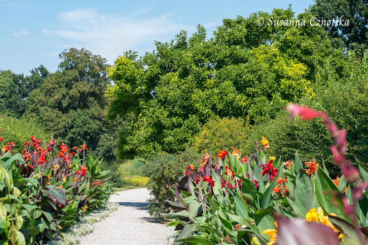 Indisches Blumenrohr (Canna indica)  (Berggarten Hannover)