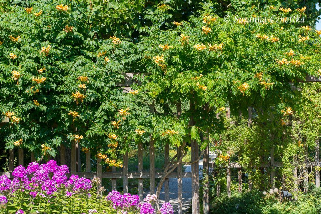 """Gelbe Trompetenblume (Campsis radicans """"Flava"""")"""