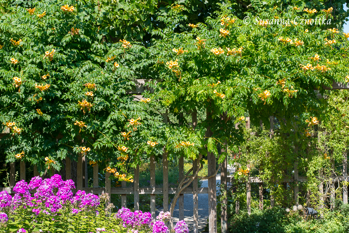 "Gelbe Trompetenblume (Campsis radicans ""Flava"") (Berggarten Hannover)"