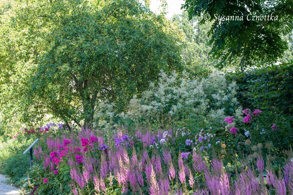 """hohe Flammenblumen (Phlox) und  rosa Prachtspieren (Astilbe chinensis var. taquetii """"Romanze"""")"""