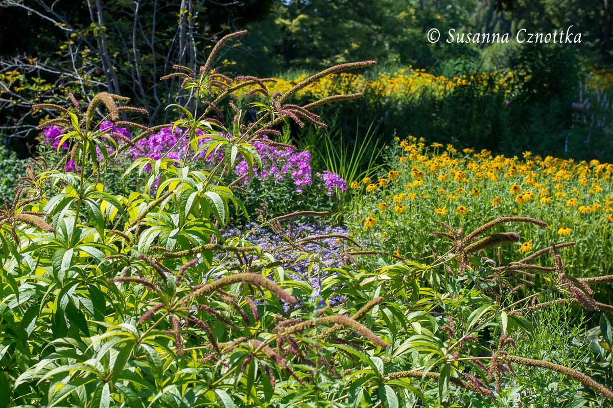 Samenstände des Ehrenpreises (Veronicastrum virginicum) (Berggarten Hannover)