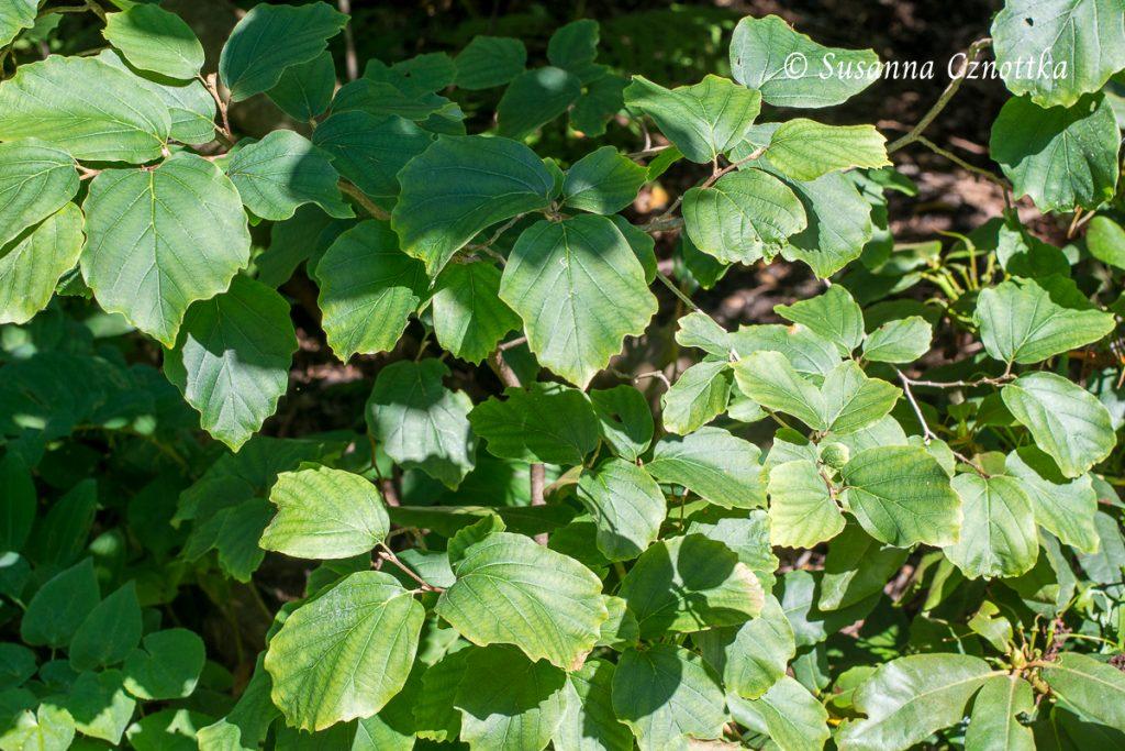 Zwerg-Federbuschstrauch (Fothergilla gardenii)