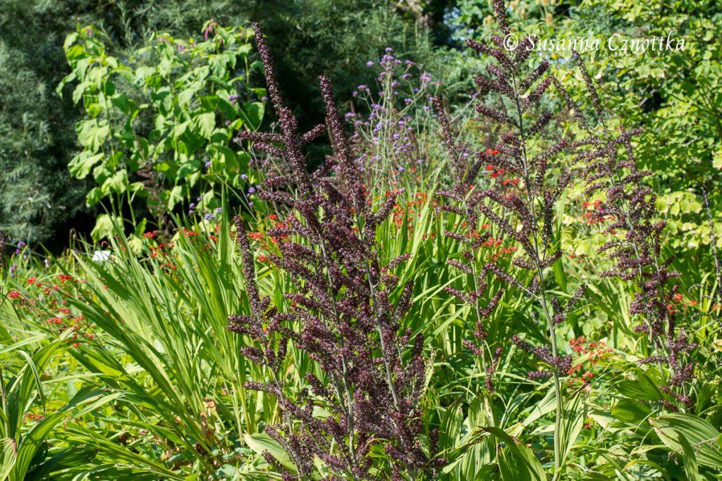 Blüten des Schwarzen Germers (Veratrum nigrum)