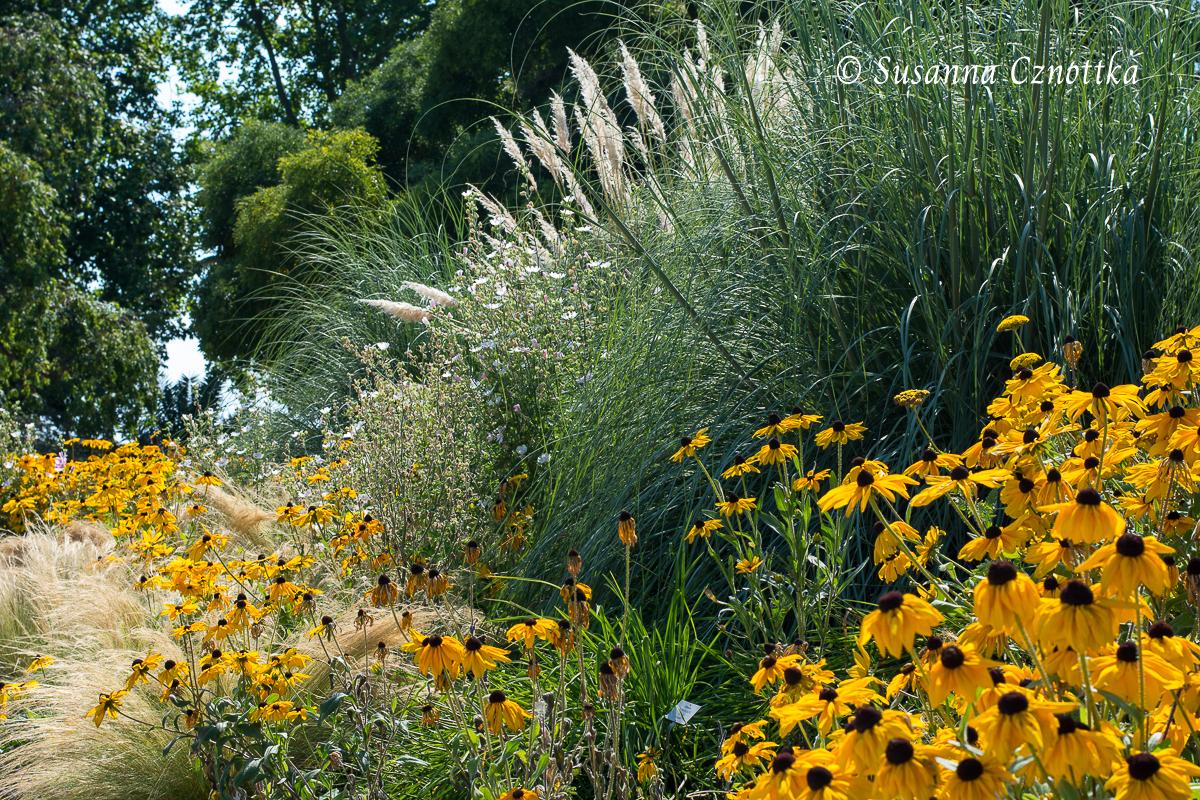 """Einjähriger Sonnenhut (Rudbeckia hirta """"Indian Summer""""), Chinaschilf (Miscanthus sinensis) und Zartes Federgras (Stipa tenuissima) (Berggarten Hannover)"""