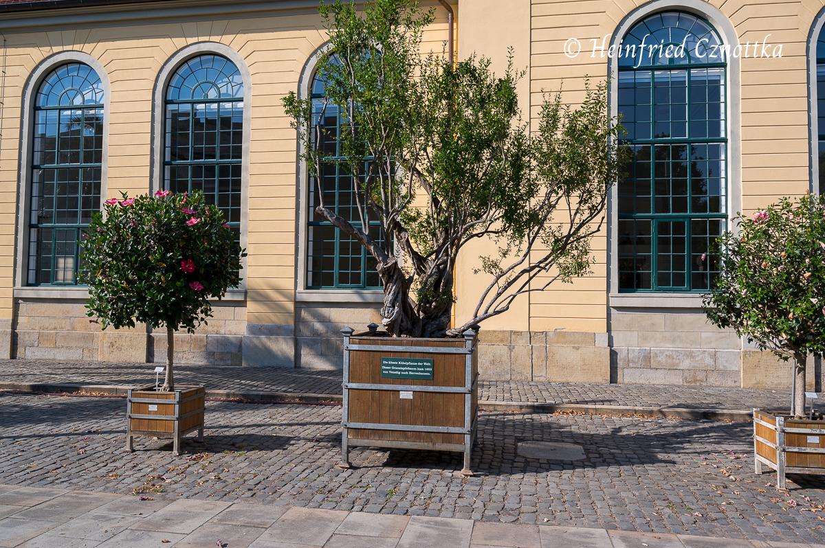 Die älteste Kübelpflanze der Welt (Herrenhäuser Gärten, Hannover)
