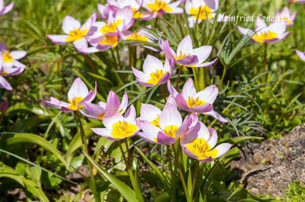 "Tulipa saxatilis ""Lilac Wonder"", Wildtulpe"