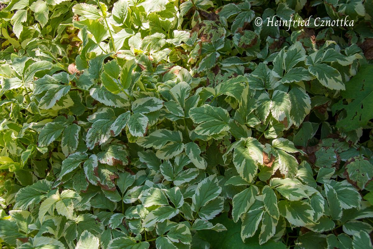 """Der Weißbunte Giersch (Aegopodium podagraria """"Variegata"""")"""