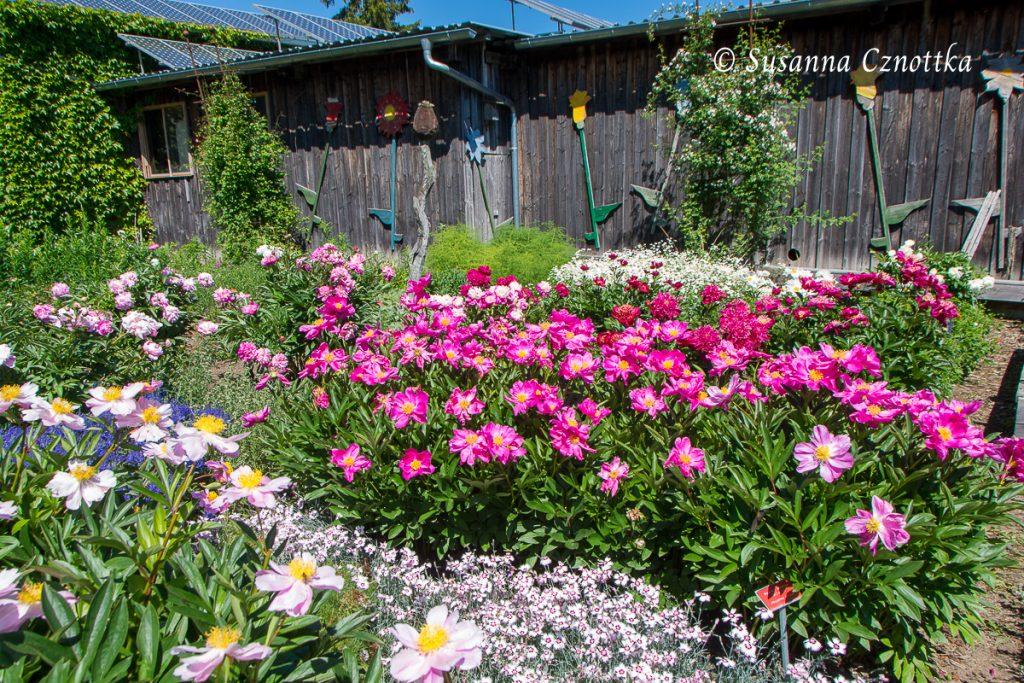 """Staudengärtnerei Gaißmayer, pinkfarbene ungefüllte Pfingstrose (Paeonia lactiflora """"Schwindt"""")"""