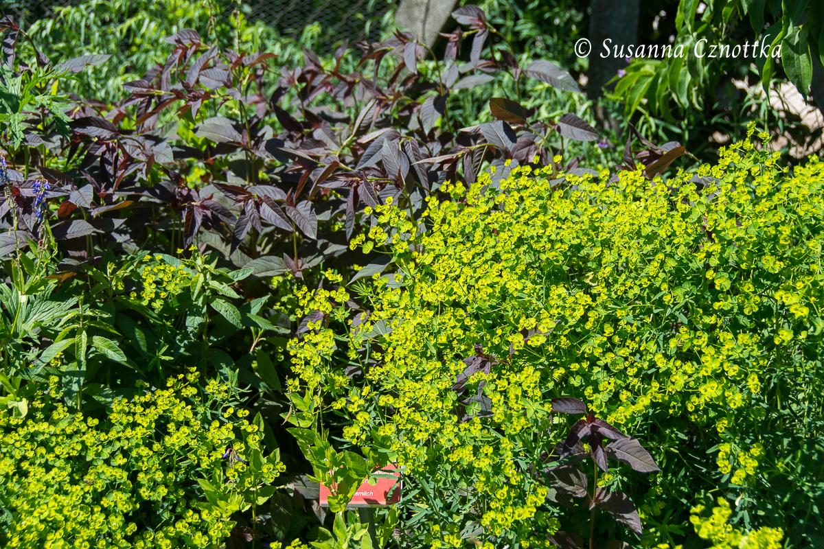 """Laubkontrast, Bronzefelberich (Lysimachia ciliata """"Firecracker"""" und Euphorbia, Wolfsmilch"""
