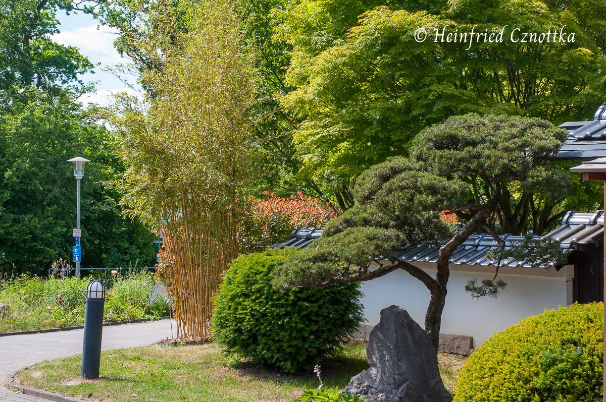 Bambus, Eibe und Kiefer vor dem Japanischen Garten Bielefeld
