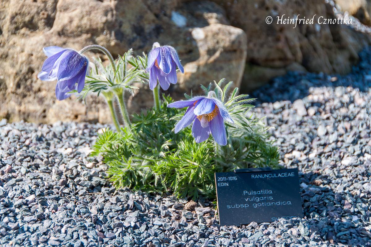 Eine Unterart der Küchenschelle mit bläulichen Blüten, die auf nur Gotland  vorkommt (Pulsatilla vulgaris subsp. gotlandica)