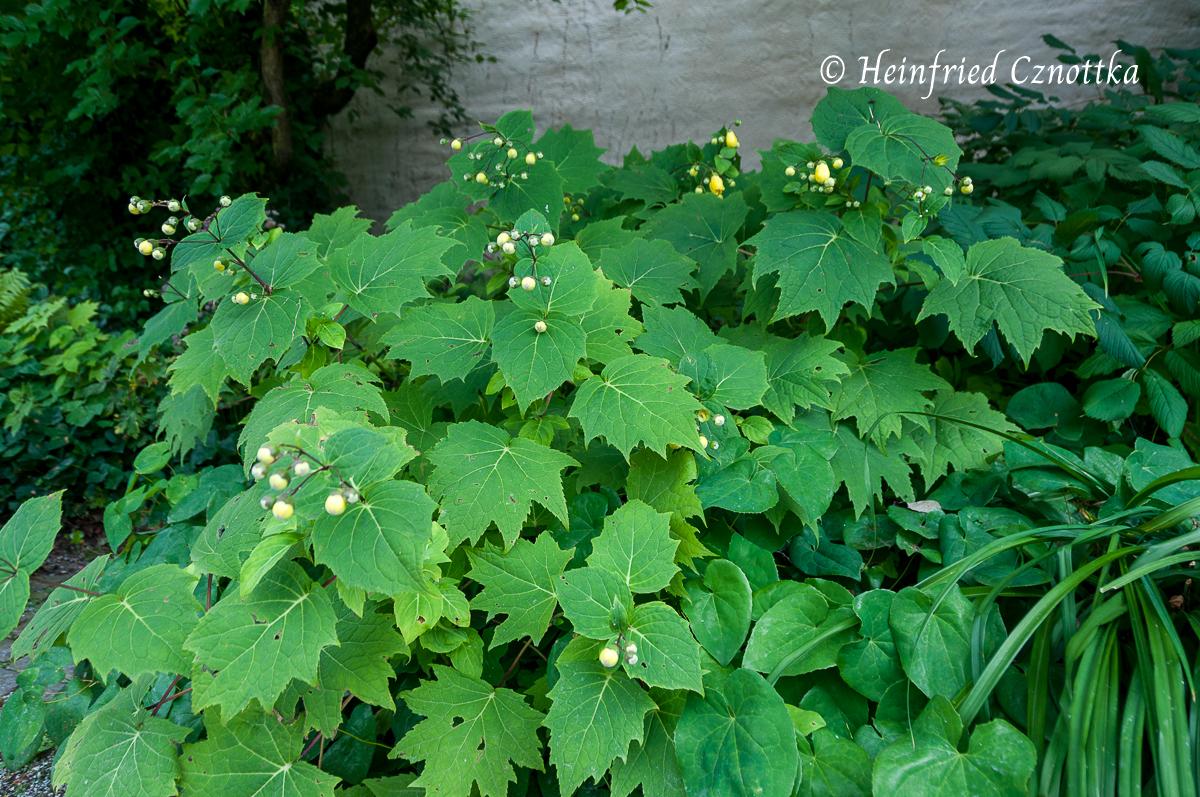 Die Blütenknospen sind zunächst kugelrund.