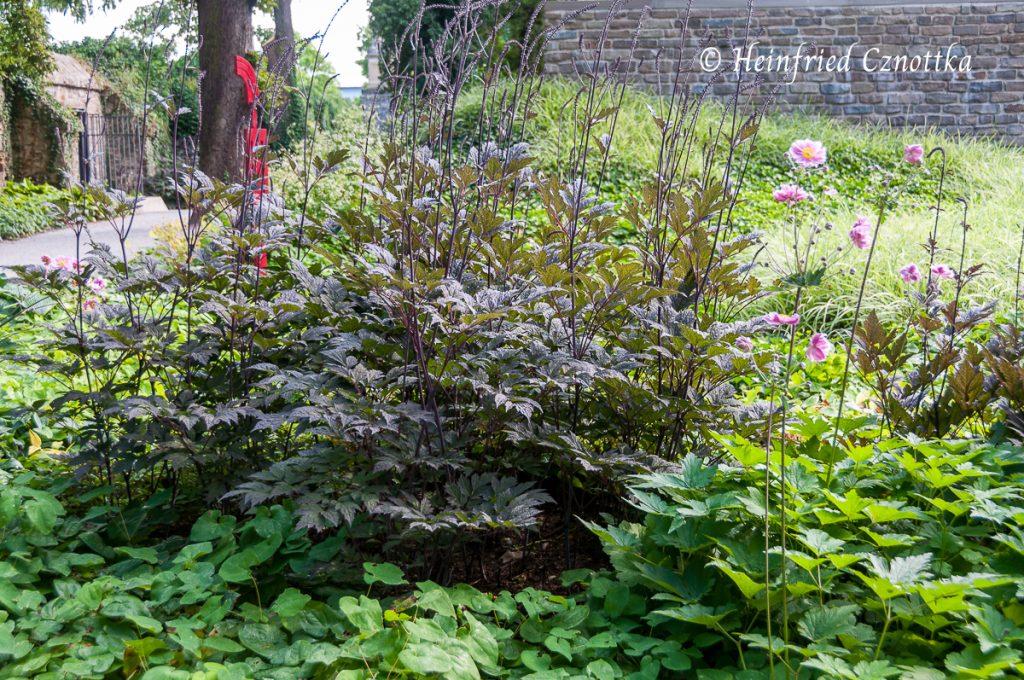 "Oktober-Silberkerze ""Brunette"" (Actaea simplex ""Brunette"")"
