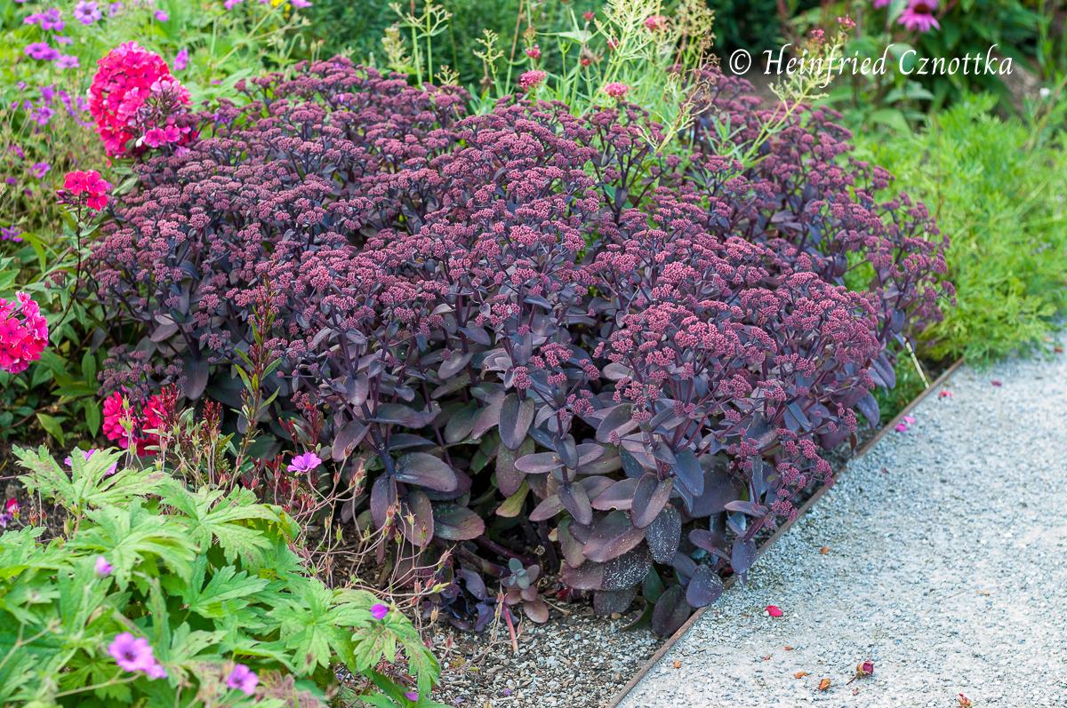 """Die Purpur-Fetthenne """"Purple Emperor"""" (Hylotelephium """"Purple Emperor"""") mit dunkel rotvioletten Blättern"""