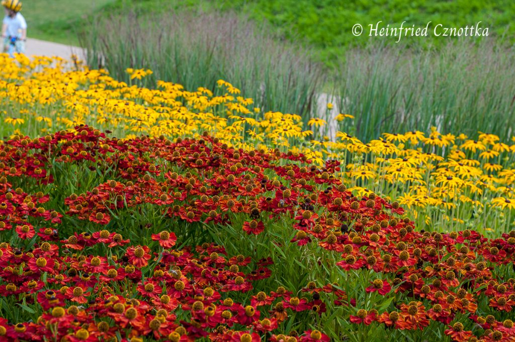 Eine kräftige Farbzusammenstellung mit roter Sonnenbraut, gelbem Sonnenhut und Rutenhirse (Panicum virgatum)