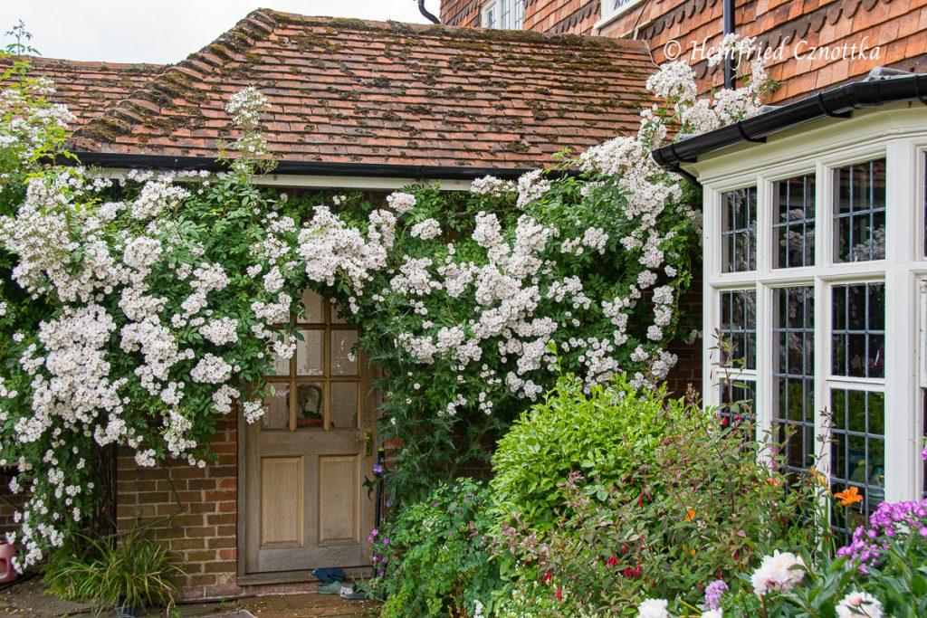 Eine Ramblerrose an der Fassade eines alten Hauses verdeckt teilweise dessen Tür