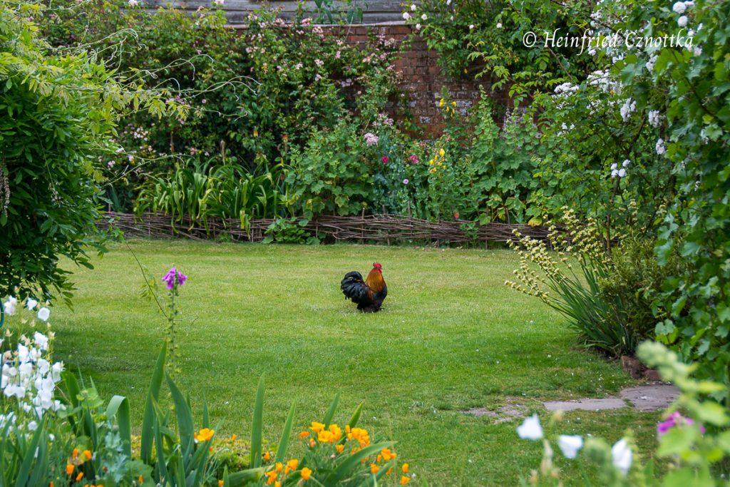 Zwerghahn im Garten von Manor House, Upton Grey