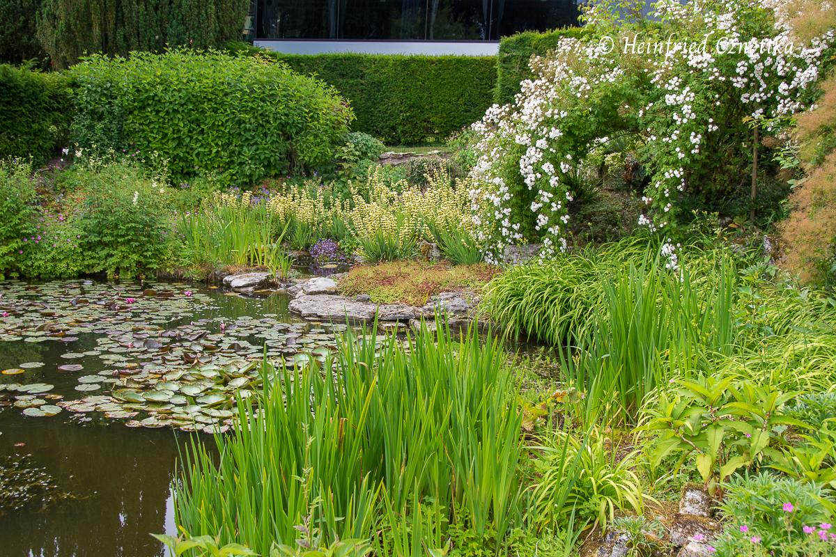 Binsenlilien (Sisyrinchium striatum) und Ramblerrose an einem Teich