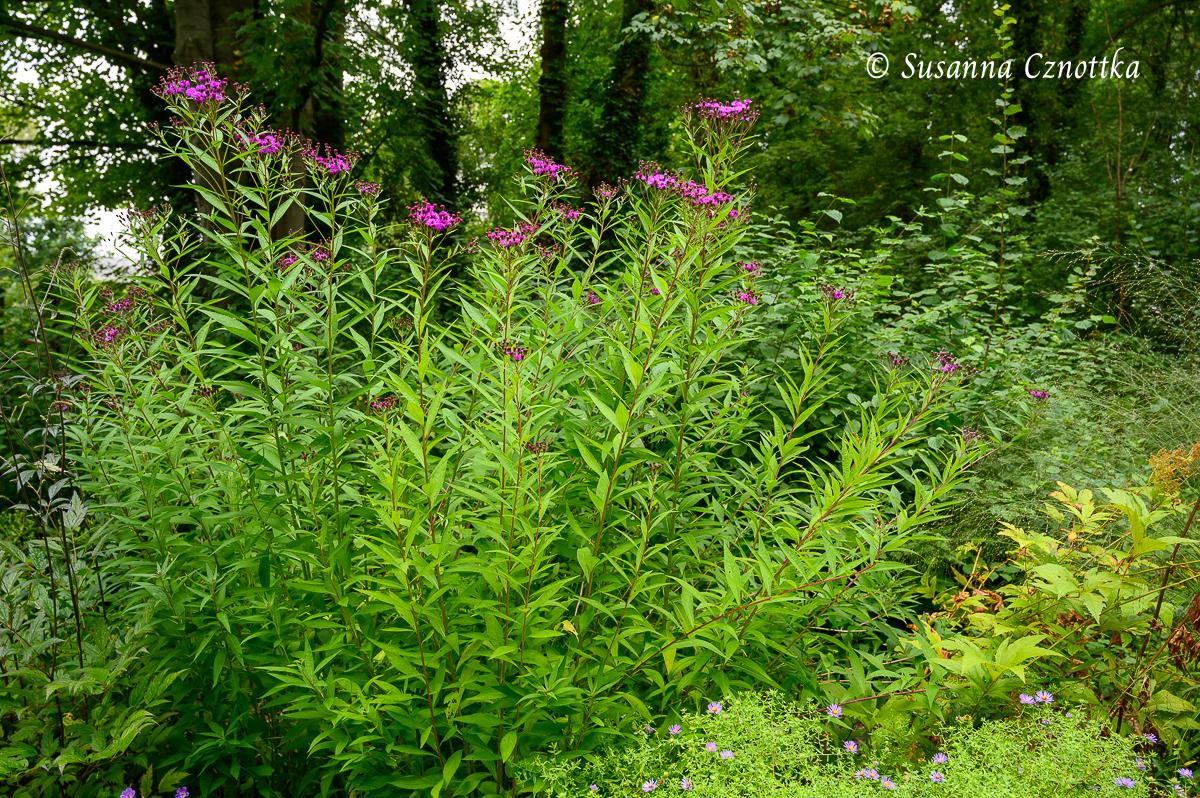 Arkansas-Scheinaster (Vernonia)