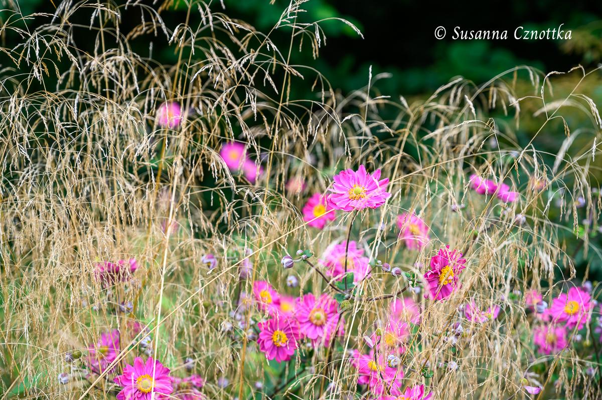 """Herbstanemone (Anemone japonica-Hybride) """"Pamela"""" mit zarten Gräserrispen"""