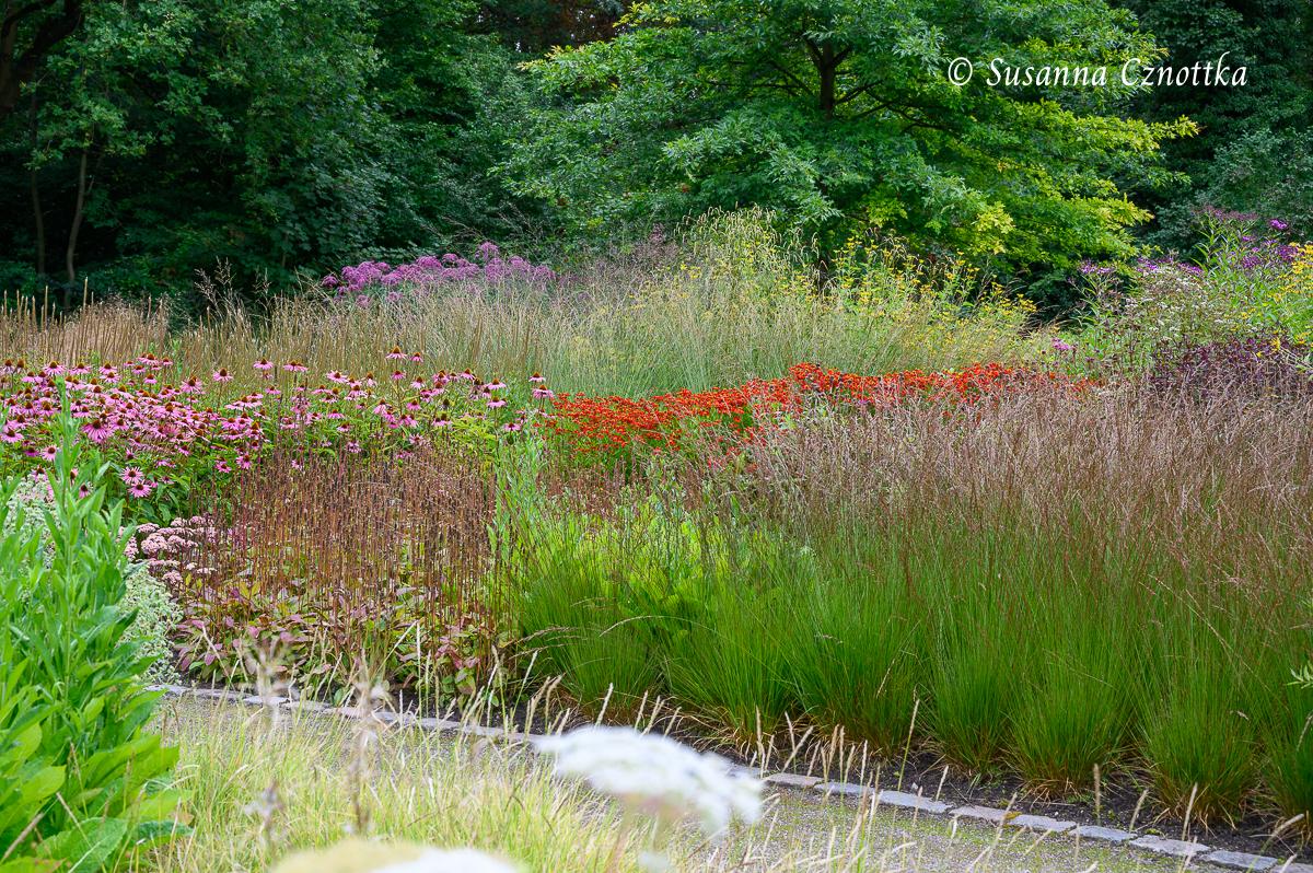 Scheinsonnenhut (Echinacea purpurea) und Sonnenbraut (Helenium)  als farbiges Band zwischen Gräsern